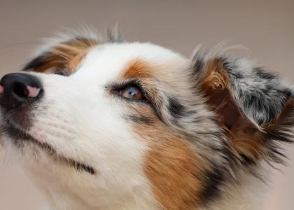 common eye conditions in dogs