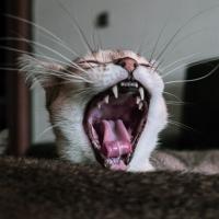 cat dental teeth